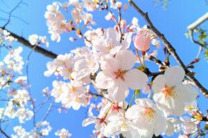 青空の下で満開の桜