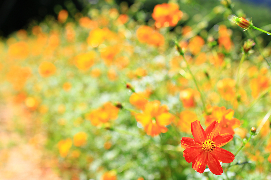 オレンジ色の花びらをつけたコスモス畑