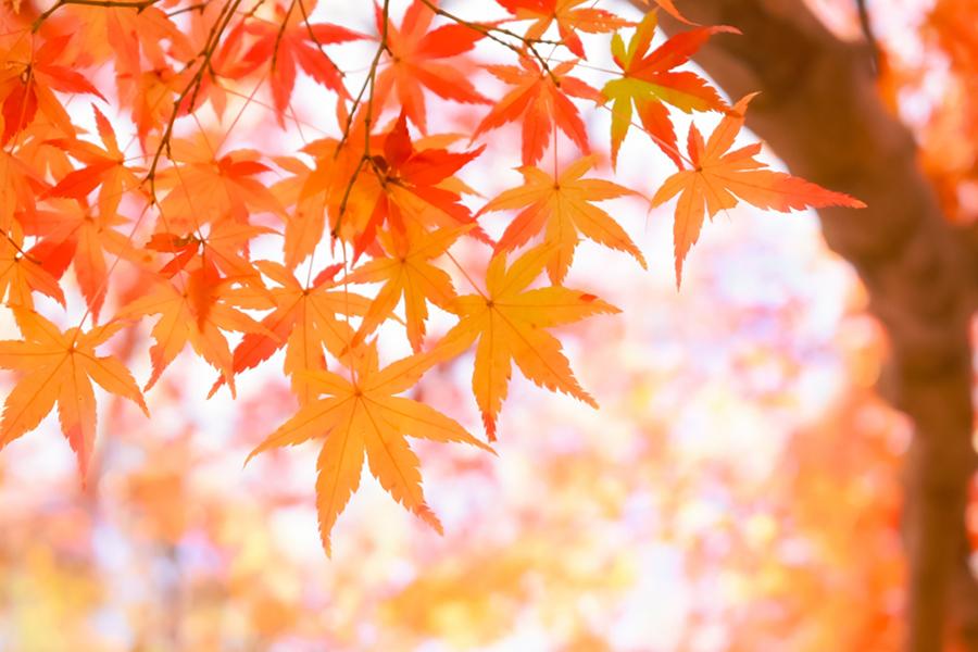 秋の象徴である紅葉の写真
